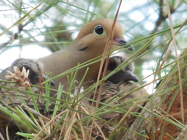 mom dove and twins