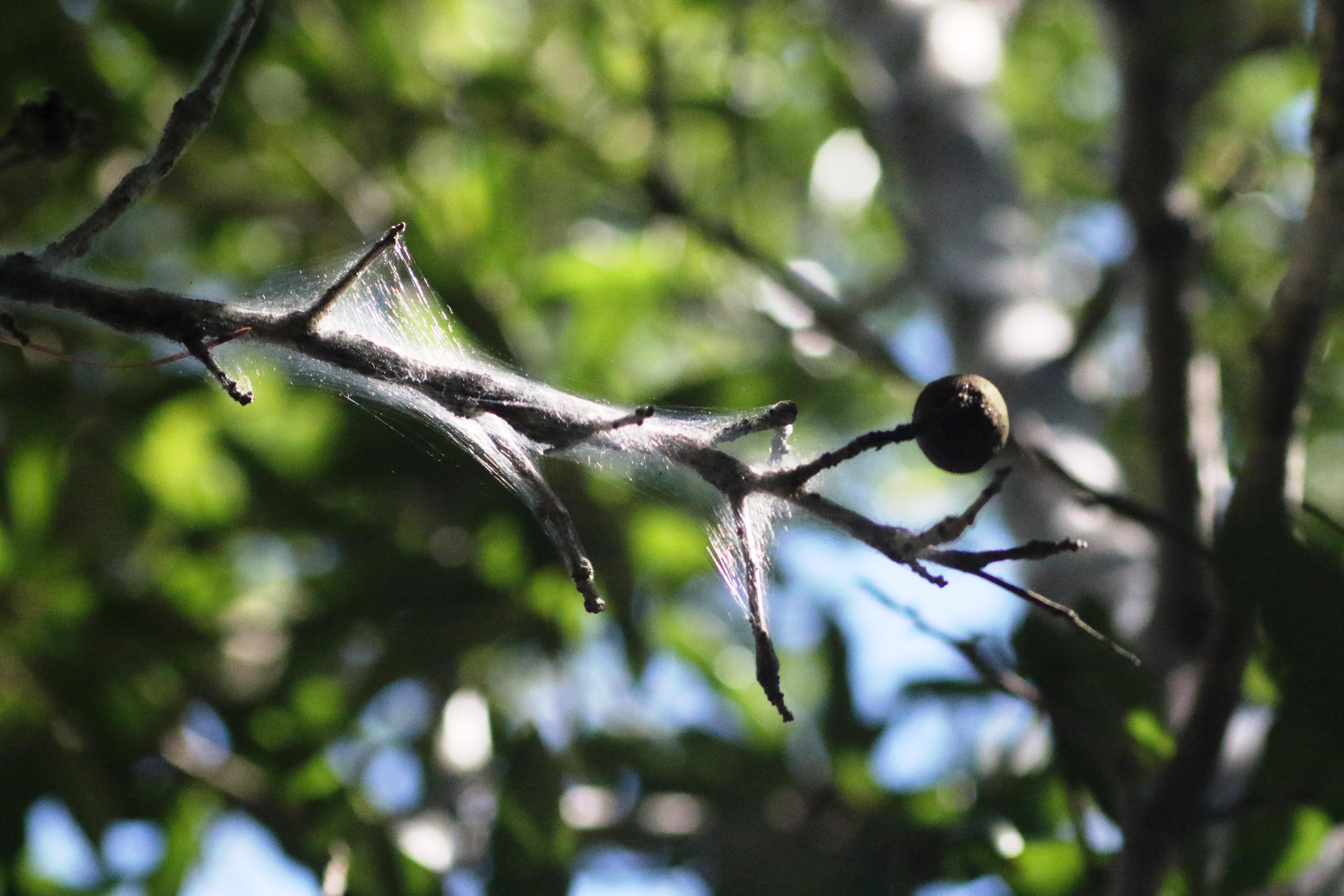 TREE LICE SILK1