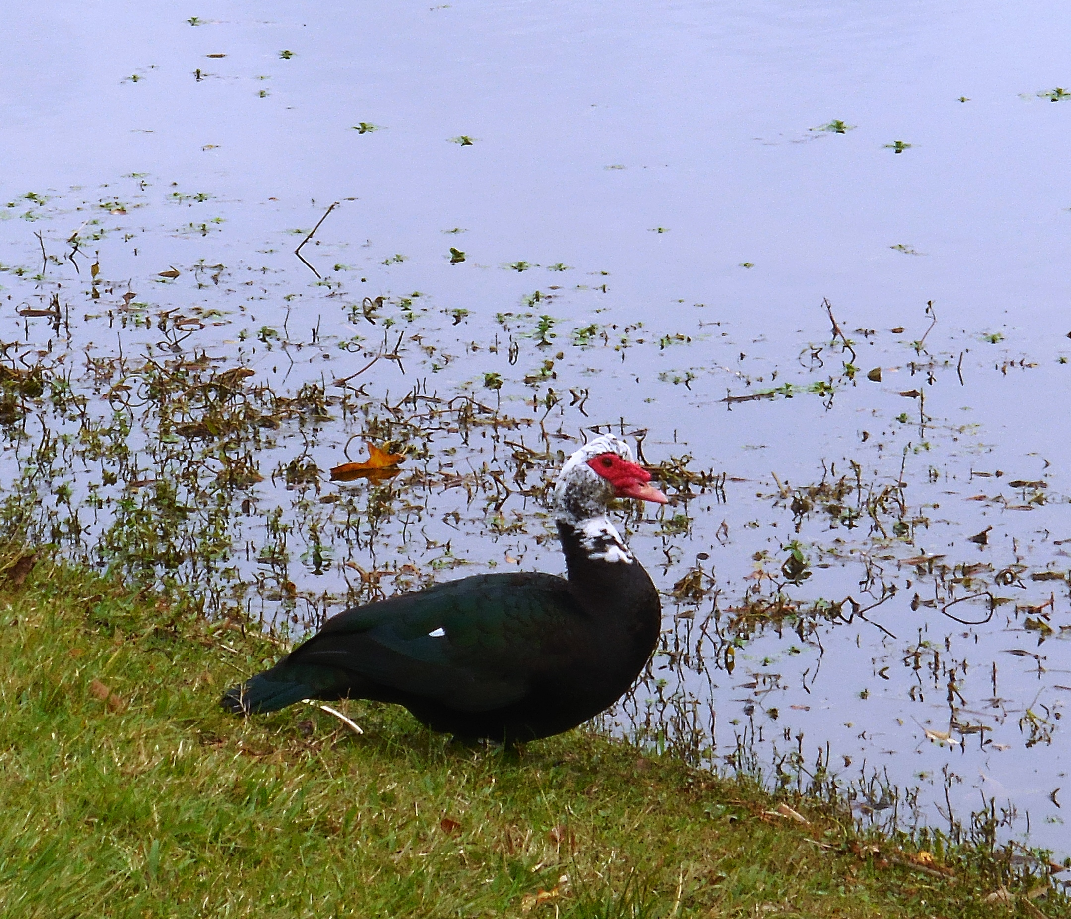 daddy muscovy duck