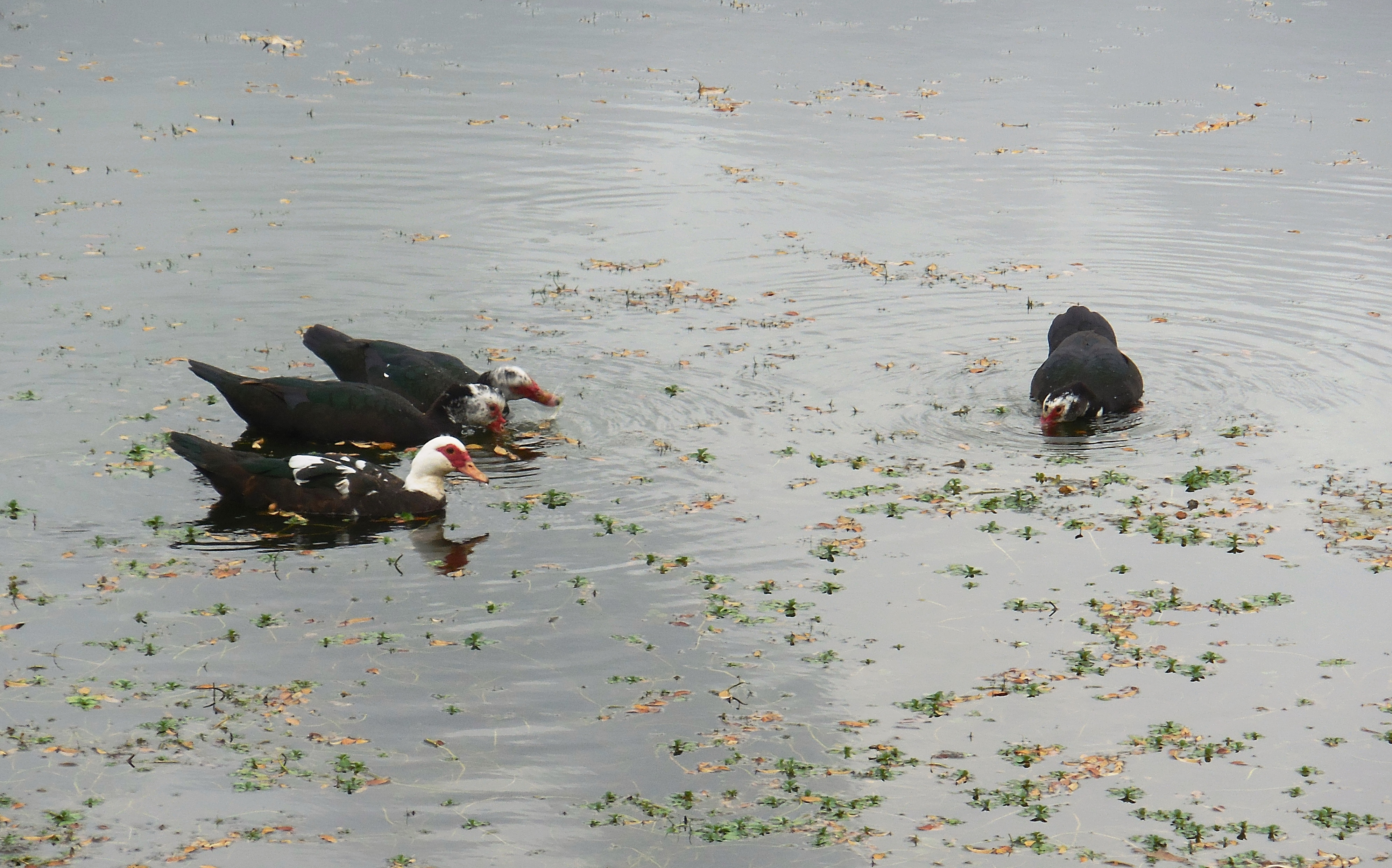 muscovy ducks