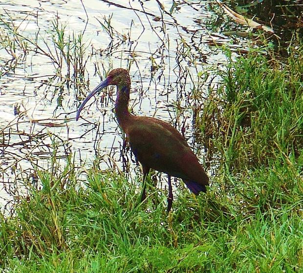 minion ibis
