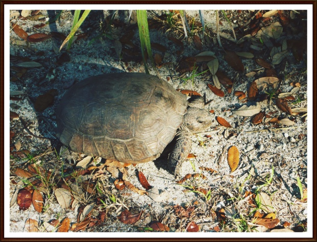 Fort Lauderdale Gopher Tortoise