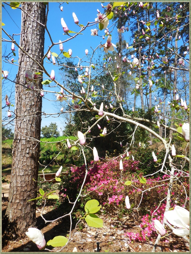 The smell of these magnolias permeated the whole garden.