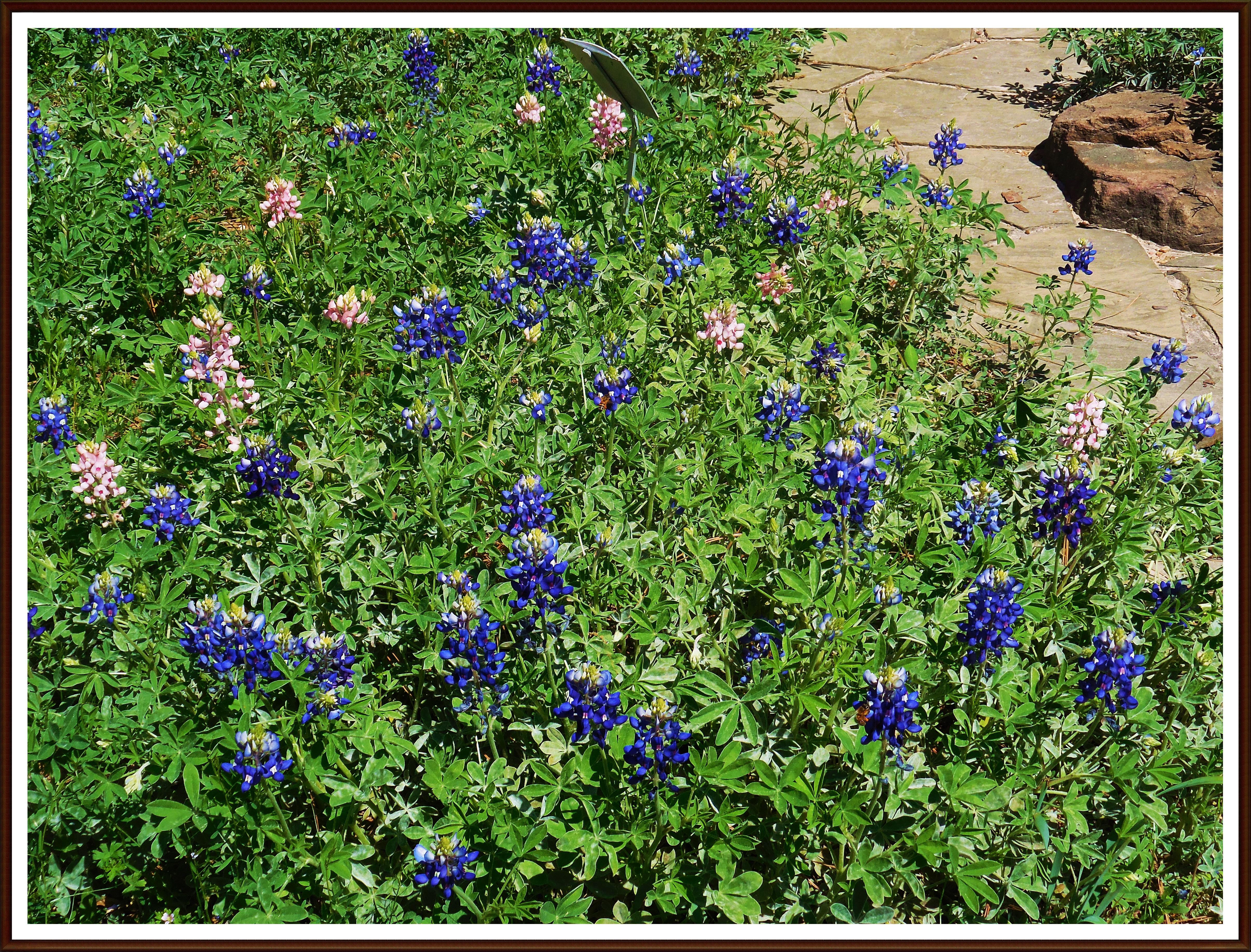Texas Bluebonnets in Mercer Arboretum