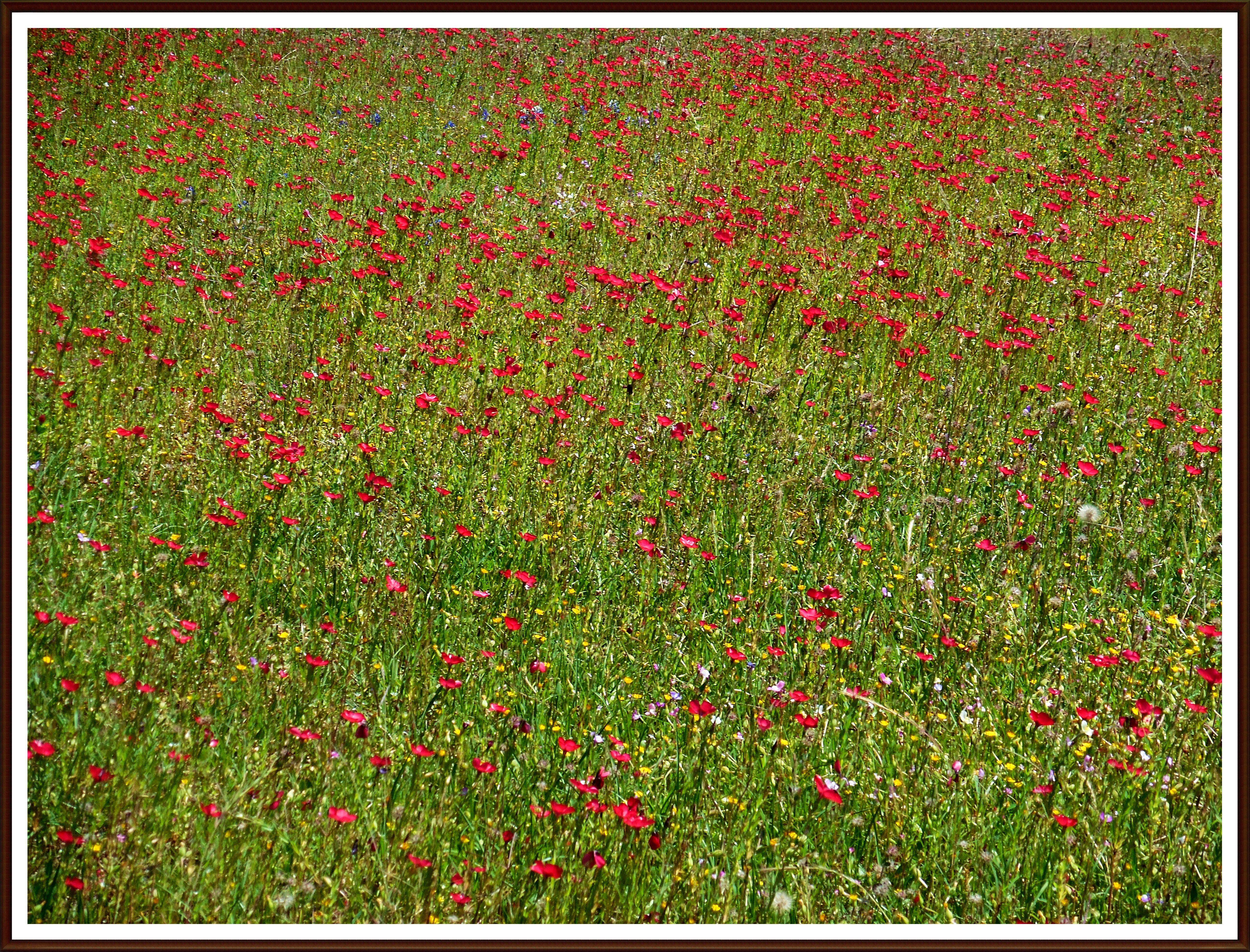 A rosy rash of poppies!