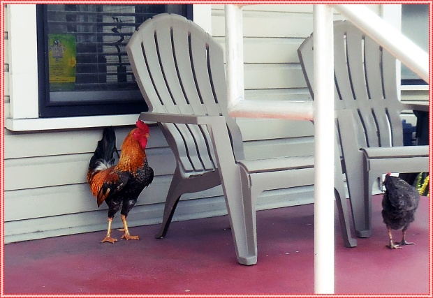 Feral chickens in Ybor