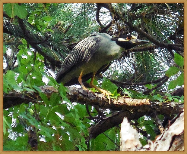 Yellow crested night heron, Tampa FL