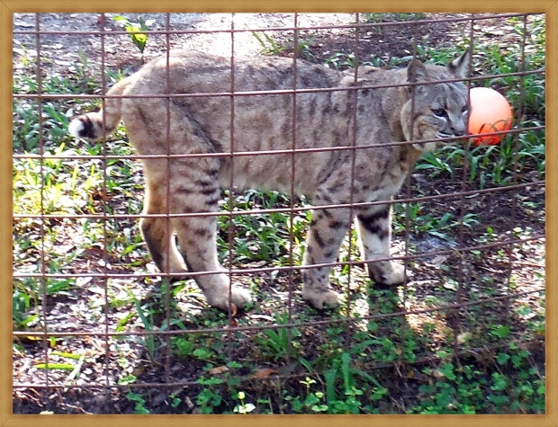 Bobcat with orange ball
