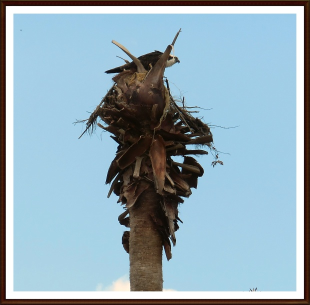 Osprey in her palm tree nest