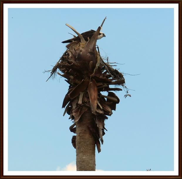 Osprey in her palm tree nest