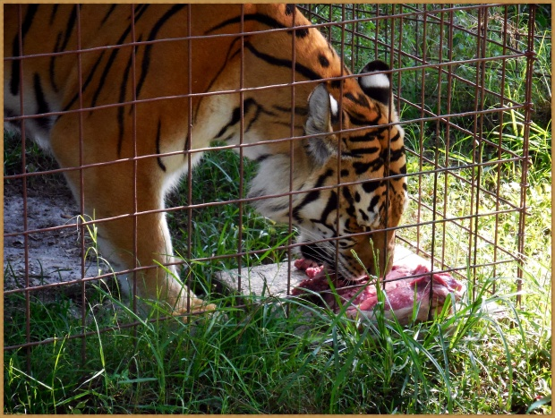 Tiger eating his breakfast Big Cat Rescue