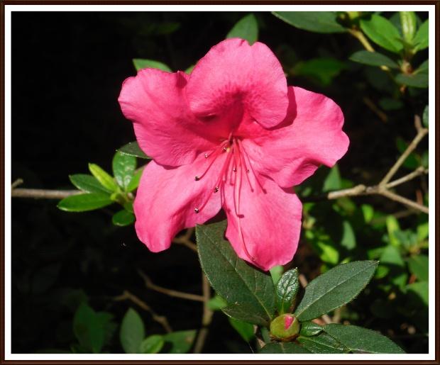 Hot pink azalea