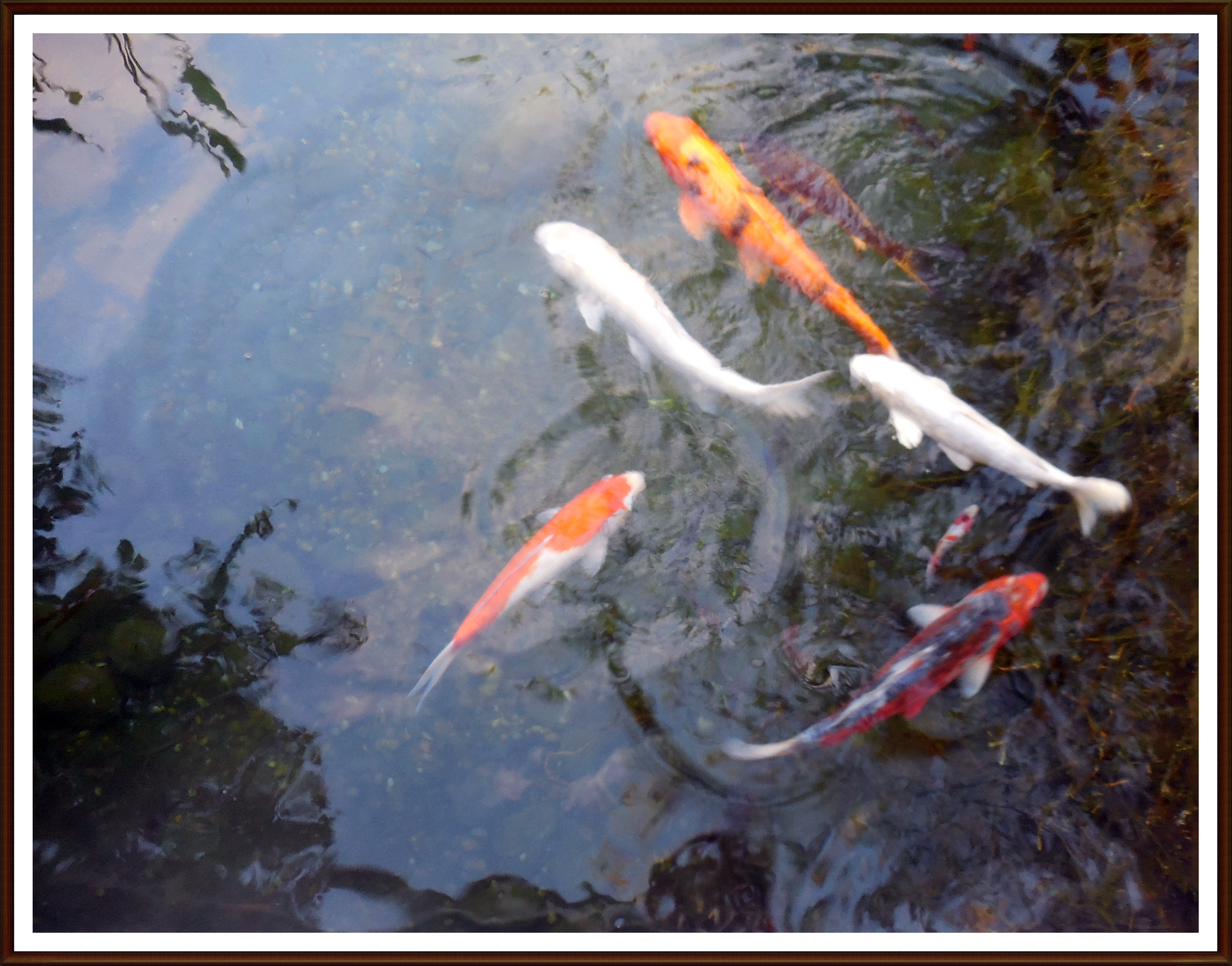 Koi carp postcards from kerry for Looking after koi