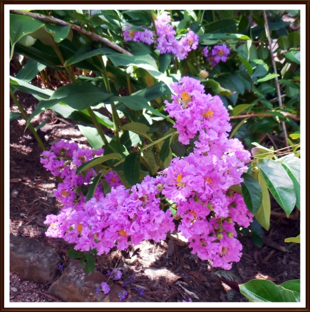 Lilac Crape Myrtle Blossom