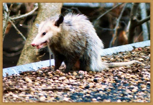 Teddy's Possum
