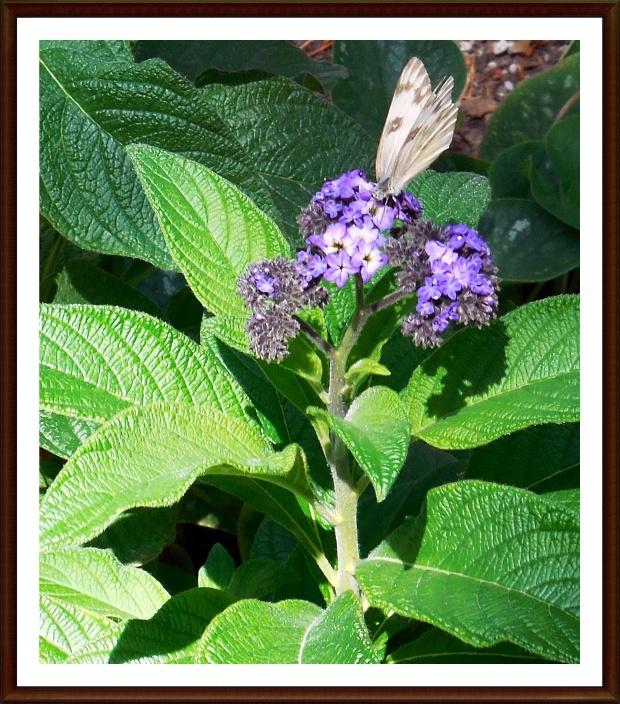 white-on-blue-hydrangea