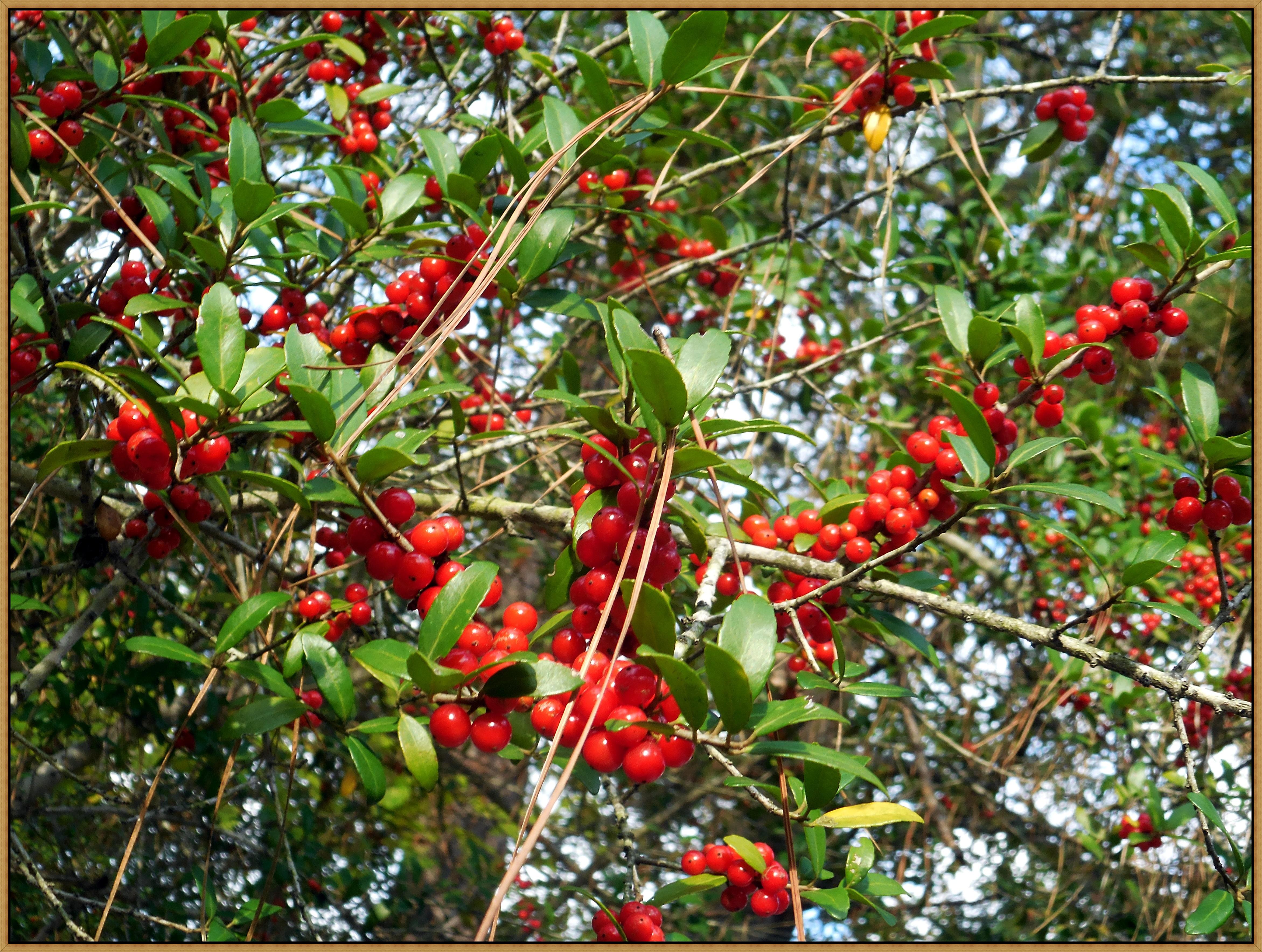 Translucent Berries