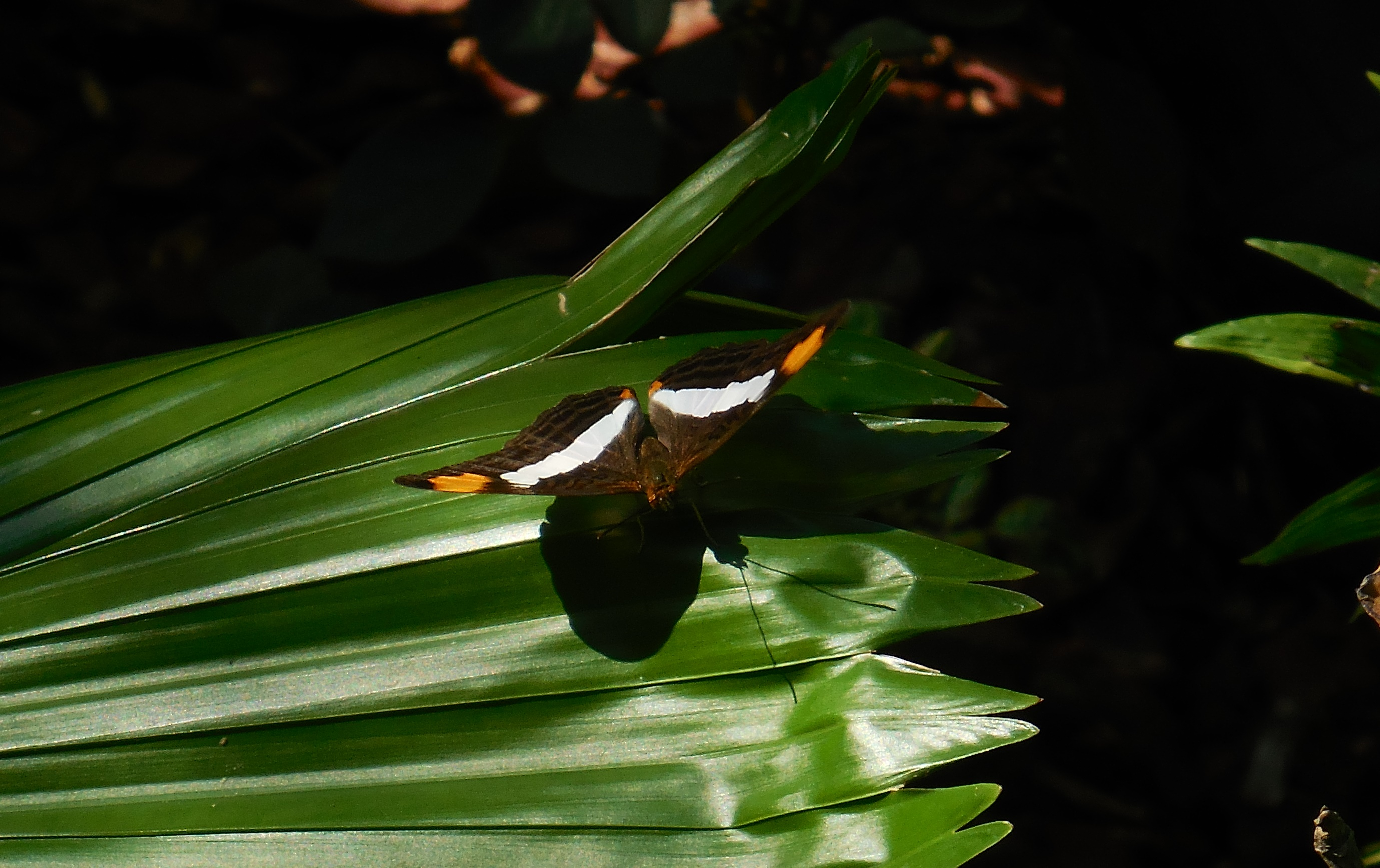 striped-butterfly