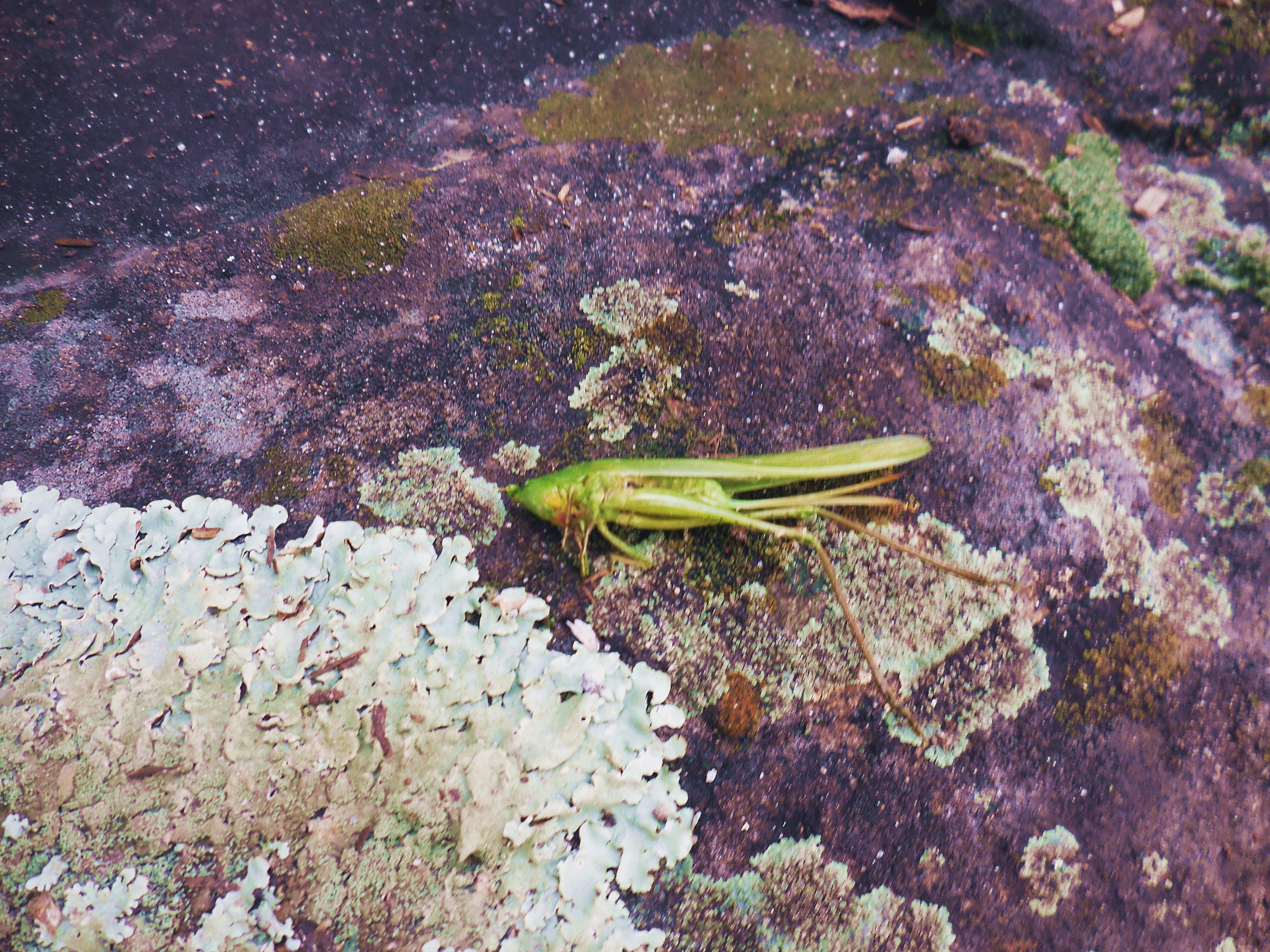 dead-grasshopper