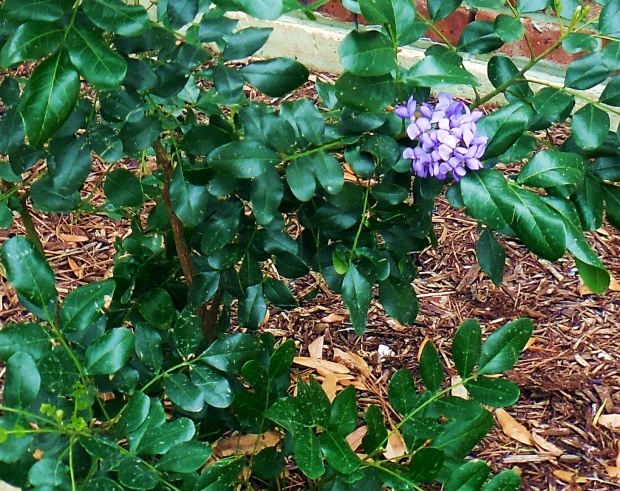 Close up of mountain laurel blossom